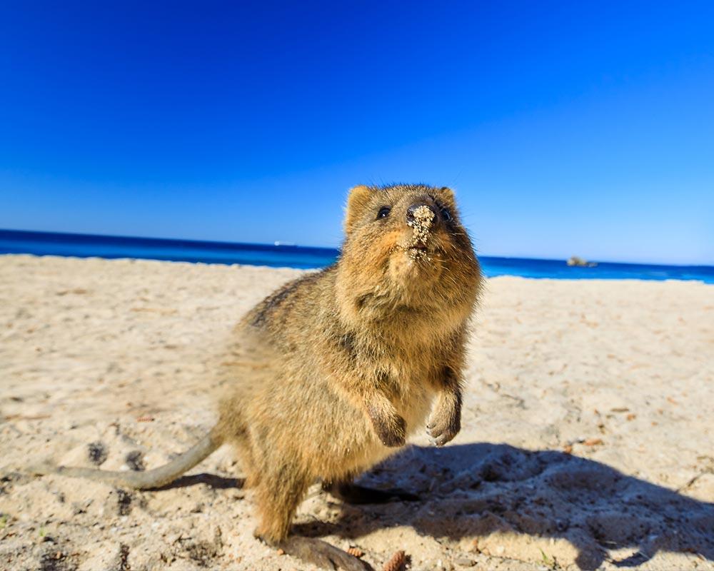 Quokka sur la plage qui regarde l'objectif