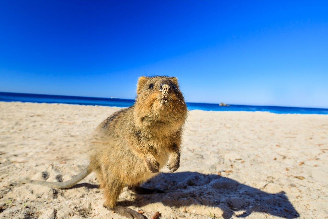 quokka sur plage